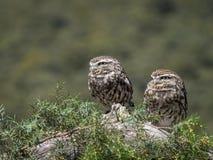 Pares del noctua del Athene de los pequeños búhos en su hábitat natural foto de archivo libre de regalías