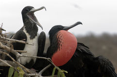 Pares del pájaro de fragata Imagen de archivo