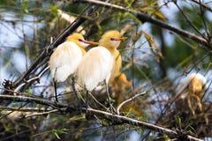 Pares del pájaro de la garceta que se sientan en los arbustos de bambú del árbol fotografía de archivo
