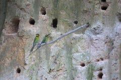 Pares del pájaro marrón de los abeja-comedores del cuello fuera de la cueva Fotos de archivo