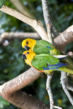 Pares del Parakeet de Jandaya, loro del Brasil Foto de archivo