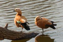 Pares del pato Fotos de archivo libres de regalías
