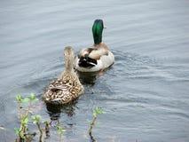 Pares del pato del pato silvestre Imagenes de archivo