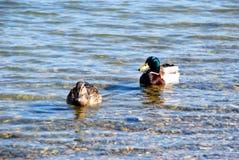 Pares del pato en el agua Imagenes de archivo