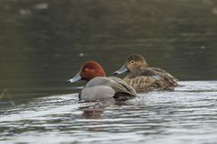 Pares del pato del pelirrojo en agua Fotos de archivo libres de regalías
