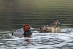Pares del pato del pelirrojo en el agua Imagenes de archivo
