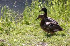 Pares del pato por el lago Fotografía de archivo libre de regalías