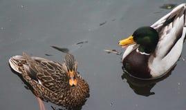 Pares del pato salvaje Fotografía de archivo