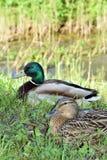 Pares del pato salvaje que descansan cerca del río imagenes de archivo