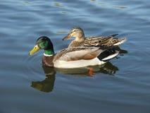 Pares del pato silvestre Fotografía de archivo libre de regalías