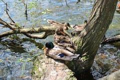 Pares del pato silvestre Imagen de archivo libre de regalías