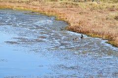 Pares del pato silvestre en un agua Foto de archivo libre de regalías