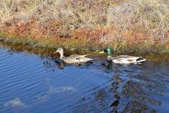 Pares del pato silvestre en un agua Imágenes de archivo libres de regalías