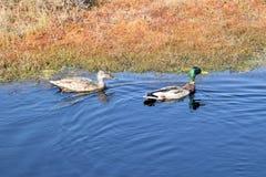 Pares del pato silvestre en un agua Imagen de archivo libre de regalías