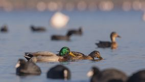 Pares del pato silvestre entre fochas Foto de archivo libre de regalías