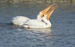 Pares del pelícano blanco que nadan junto Imagen de archivo libre de regalías