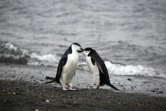 Pares del pingüino Fotos de archivo