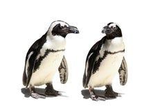 Pares del pingüino Foto de archivo libre de regalías