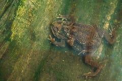 Pares del sapo en el sapo de la cría del agua que hace los huevos en agua Imagen de archivo libre de regalías