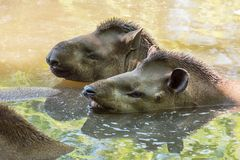 Pares del tapir brasileño de los tapires de los terrestris suramericanos del Tapirus en el agua foto de archivo libre de regalías