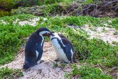 Pares delicados do pinguim Imagens de Stock