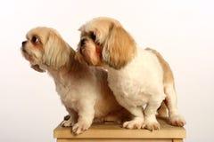 Pares do cão fotografia de stock royalty free