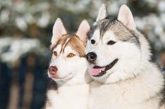 Pares do cão de puxar trenós siberian no inverno imagem de stock