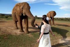Pares do casamento e tiro do elefante africano Fotografia de Stock Royalty Free