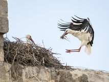 Pares do ciconia do Ciconia das cegonhas brancas, um deles aterrissagem dentro Imagens de Stock Royalty Free