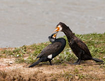 Pares do Cormorant no amor fotografia de stock