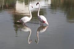 Pares do flamingo na região francesa de Camargue Foto de Stock Royalty Free