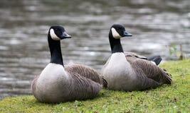 Pares do ganso de Canadá Fotos de Stock Royalty Free