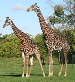 Pares do Giraffe fotografia de stock