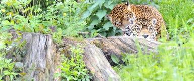 Pares do jaguar Fotografia de Stock Royalty Free