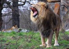 Pares do leão Imagens de Stock Royalty Free