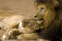 Pares do leão fotografia de stock