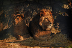 Pares do leão Fotografia de Stock Royalty Free