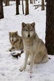 Pares do lobo de madeira Fotografia de Stock Royalty Free