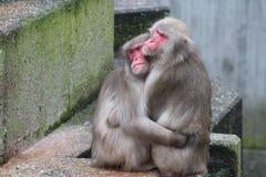 Pares do macaco Imagem de Stock Royalty Free