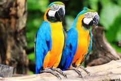 Pares do macaw do papagaio Imagens de Stock