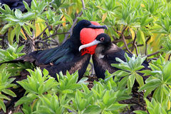 Pares do pássaro de fragata durante a estação de acoplamento Imagem de Stock Royalty Free