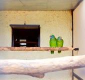 Pares do papagaio Fotografia de Stock Royalty Free