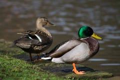 Pares do pato selvagem fotografia de stock royalty free