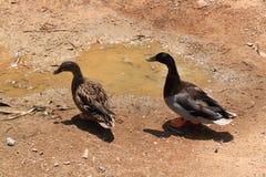 Pares do pato selvagem Foto de Stock
