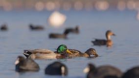 Pares do pato selvagem entre galeirões foto de stock royalty free