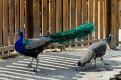 Pares do pavão do pássaro Foto de Stock