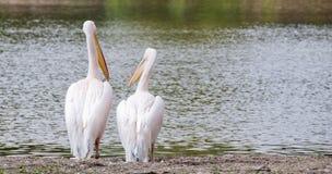 Pares do pelicano Fotos de Stock Royalty Free