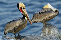 Pares do pelicano Imagem de Stock