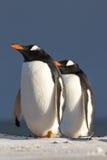 Pares do pinguim de Gentoo (Pygoscelis papua) Imagens de Stock