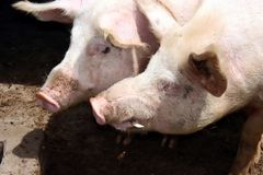 Pares do porco imagem de stock royalty free